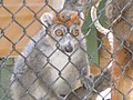 Crowned Lemur.jpg