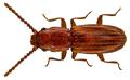 Cryptolestes duplicatus (Waltl, 1839) (14486293004).png