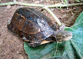 Yunnan box turtle Species of turtle