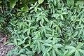 Curcuma zedoaria 2zz.jpg