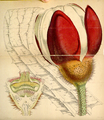 Curtis's Botanical Magazine, Plate 4277 (Volume 73, 1847).png