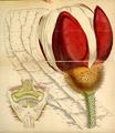 Curtis's Botanical Magazine, Plate 4277 (Volume 73, 1847).png