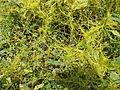 Cuscuta Reflexa Roxb - മൂടില്ലാതാളി 01.JPG