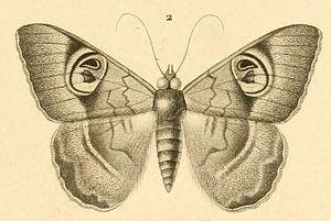 Le Règne Animal - Cyligramma limacina, an illustration from Félix Édouard Guérin-Méneville's Iconographie du Règne Animal de G. Cuvier 1829–1844