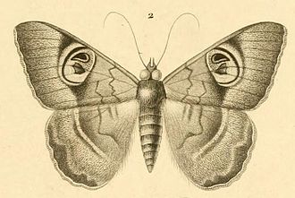 Félix Édouard Guérin-Méneville - Cyligramma limacina, an illustration from Guérin's Iconographie du Règne Animal de G. Cuvier 1829–1844. He described the species in 1832.