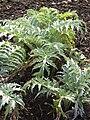 Cynara scolymus 'Globe Artichoke' (Compositae) plant.jpg