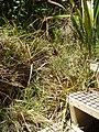 Cyperus ustulatus A.Rich. (AM AK289224).jpg
