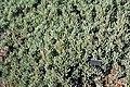 Cyrtanthus brachyscyphus - Leaning Pine Arboretum - DSC05665.JPG