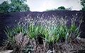 Cyrtopodium andersonii - habitat.jpg