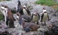 Dählhölzli - Humboldt Pinguine 2.jpg