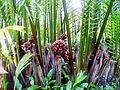 Dừa nước tại Trà Ôn.jpg