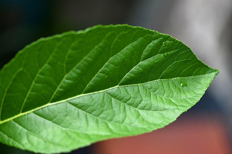 File:D85 6520 หนานเฉาเหว่ย bitterleaf tree Photographed by Trisorn Triboon.jpg