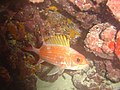 DSC00219 - peixe - Naufrágio e recifes de coral no Nilo.jpg