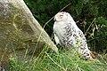 DSC00622 - Snowy Owl (7693374514).jpg
