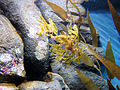 DSC28175, Leafy Sea Dragon, Monterey Bay Aquarium, Monterey, California, USA (8543133748).jpg