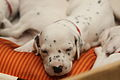 Dalmatian puppy, three weeks-1.JPG