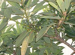 Daphniphyllum macropodum1.jpg