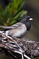 Dark-eyed Junco (2).jpg