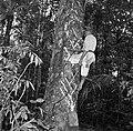 De Balata-bleeder tapt balata uit de balataboom (bolletrie) in Nickerie, Bestanddeelnr 252-5435.jpg