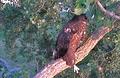 Decorah eaglet, July 6, 2012.png
