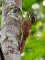 Dendrocolaptes certhia certhia - Amazonian barred woodcreeper, Pte. Figueiredo, Amazonas, Brazil.jpg