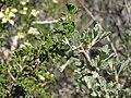 Desert bitterbrush, Purshia glandulosa leaves (left) with Purshia tridentata leaves (right) (16835202736).jpg