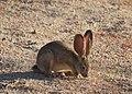 Desert cottontail (14272762742).jpg
