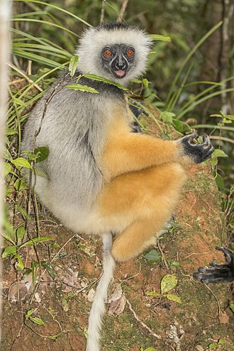 Diademed sifaka - in Analamazaotra Special Reserve