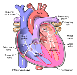 Diagram of the human heart (cropped).svg