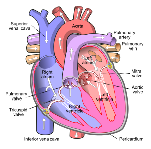 Diagram of the human heart 1. Superior Vena Ca...