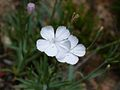 Dianthus furcatus ssp gyspergerae 4.JPG