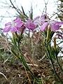 Dianthus rupicola 345.JPG