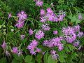 Dianthus superbus var. longicalycinus.jpg