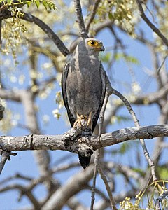 Dickinson's Kestrel (Falco dickinsoni) (23164736424).jpg