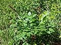 Dictamnus albus sl72.jpg