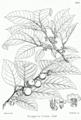 Diospyros lotus Bra36.png