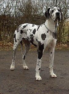 Dogge Odin.jpg