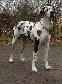 Giant dog breed