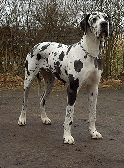 Great Dane Gentle Giant Dogs