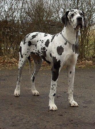 Giant dog breed - Image: Dogge Odin