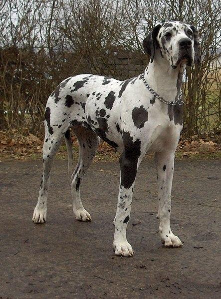 Файл:Dogge Odin.jpg