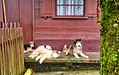 Dogs lying on the porch (9963521533).jpg