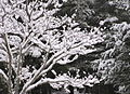 Dogwood in snow.jpg