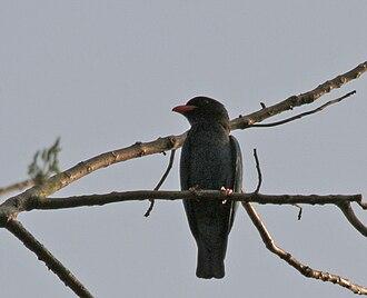 Oriental dollarbird - Image: Dollarbird or Broad billed Roller (Eurystomus orientalis) at Jayanti, Duars, West Bengal W Picture 060