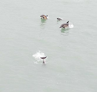 Short-beaked common dolphin - Dolphins porpoising along a ferry at the port of Batumi
