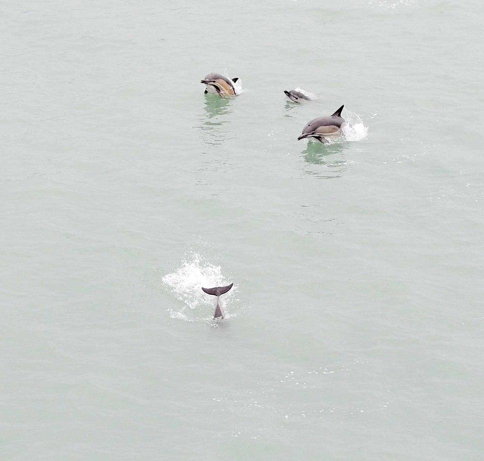 Dolphins swim near ferry in port of Batumi 150505-A-PU919-7446