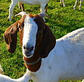 Domestic Goat 1 Germany - State of Hesse.jpg