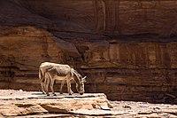 Donkeys grazing on rocks in Petra, Jordan, May, 2015.jpg
