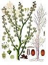 Dorema ammoniacum - Köhler–s Medizinal-Pflanzen-201.jpg