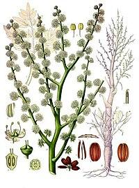 Dorema ammoniacum - Köhler–s Medizinal-Pflanzen-201
